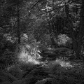 Monhegan Woods - IR